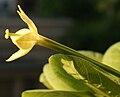 Brighamia insignis Flower side.JPG