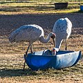 Brolga at Boulia Wildlife Haven Herbert St Boulia Queensland P1030896.jpg
