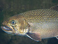 Brook Trout - National Aquarium, Baltimore - April 5, 2011.jpg