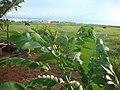 Broto de siriguela em Sitio de Campo Verde MT - panoramio.jpg
