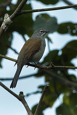 Brown-backed Solitaire - Mexico S4E8851 (17234909415).jpg