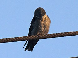 Brown-bellied Swallow RWD5.jpg