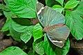 Brown Forester (Euphaedra spatiosa) (7073872989).jpg