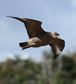 Brown Skua in flight (5541406364).jpg