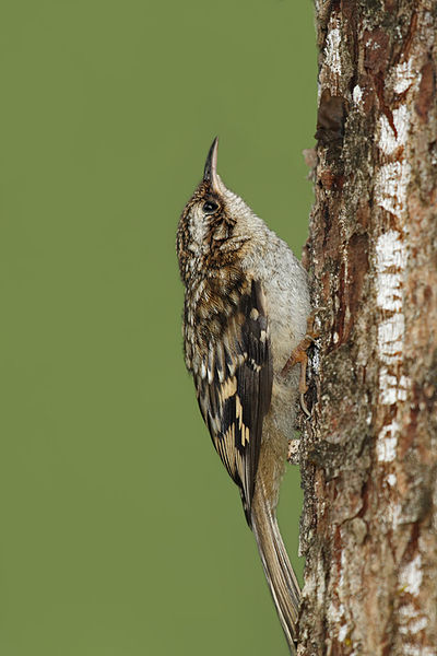 File:Brown creeper (Certhia americana).jpg