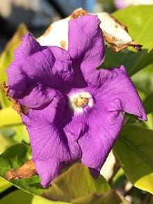 Brunfelsia pauciflora ( Cham. & Schltdl. ) Benth. flower close-up.jpg