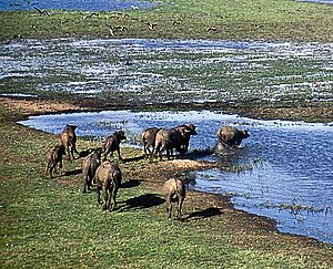 Kakadu National Park - Water buffalo in the wetlands
