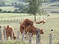 Bull and cows in Amurrio 2018 08.jpg