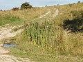 Bullrushes on Imber Range - geograph.org.uk - 539075.jpg