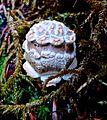 Bumpy Golf Ball mushroom (14937347620).jpg