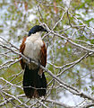 Burchell's Coucal (Centropus burchellii) (17147033789).jpg