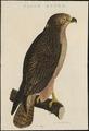 Buteo vulgaris - 1770-1829 - Print - Iconographia Zoologica - Special Collections University of Amsterdam - UBA01 IZ18200031.tif