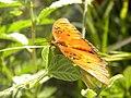 Butterfly (3977578474).jpg