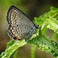 Butterfly in Singapore Botanic Gardens.jpg