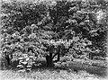 COLLECTIE TROPENMUSEUM Achras-sapota Salatiga TMnr 10006280.jpg