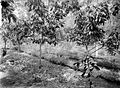 COLLECTIE TROPENMUSEUM De oude cacaotuin van onderneming Assinan is gesnoeid uitgedund en met lamtoro beplant residentie Semarang Midden-Java TMnr 10012244.jpg