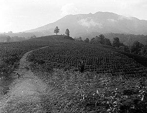 Parahyangan - Tea plantation in Preanger highlands in 1923