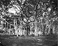 COLLECTIE TROPENMUSEUM Waringibomen in het park op Buitenzorg TMnr 60022036.jpg