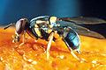 CSIRO ScienceImage 2330 A Fruit Fly.jpg
