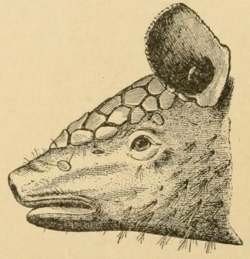 Cabassous centralis (Miller, 1899) head from side.png