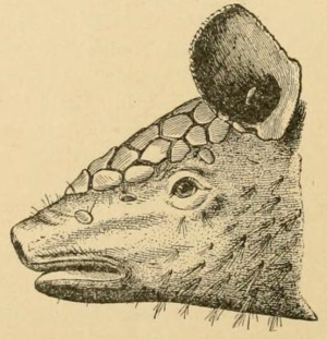 Northern naked-tailed armadillo - Image: Cabassous centralis (Miller, 1899) head from side