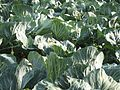 Cabbage patch (3947870814).jpg