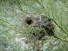 A nest suspended in the green branches of a palo verde tree