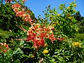 Caesalpinia pulcherrima (Fabaceae).jpg