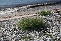 Cakile maritima habitat.jpg