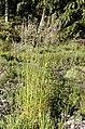 Calamagrostis.arundinacea.2.jpg