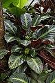 Calathea ecuadoriana (Marantaceae) (30272837966).jpg