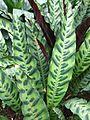 Calathea lancifolia bb2 (edit).jpg