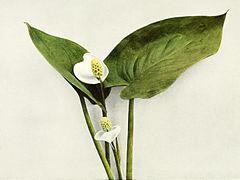 Calla palustris WFNY-004.jpg