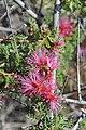 Calliandra chilensis Desierto Florido 2011 sector Quebradita 02.jpg