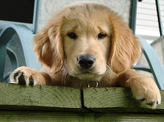 Canine terminology - Golden Retriever
