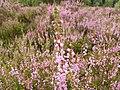 Calluna vulgaris 004.jpg
