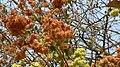 Calycopteris floribunda (484706295).jpg