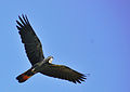 Calyptorhynchus banksii -flying -Australia Zoo-8.jpg