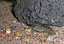 Cambarellus patzcuarensis-01.jpg