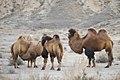Camels in Naryn Rayon, Kyrgyzstan.jpg