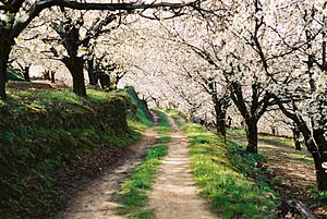 Path over cherry trees. (Jerte's Valley)