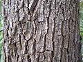 Camphor Laurel bark (5057096988).jpg