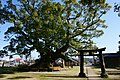 Camphor tree of Aohata Shrine in Sato.jpg
