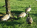Canada Geese at Oracle HQ 1.JPG