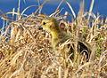 Canada Goose Gosling Seedskadee NWR (17124495590).jpg