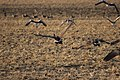 Canada goose - Branta canadensis (43969511755).jpg