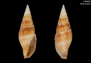 <i>Cancilla rikae</i> species of mollusc