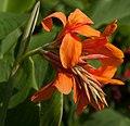 "Canna x generalis ""Red King Humbert"" (Cannaceae) (4043120468).jpg"