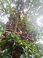 Cannonball Tree - Durban Gardens.jpg