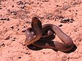 Cape cobra Naja nivea mature male hooding in defensive threat pose IMG 6734s.jpg